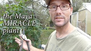What is CHAYA?