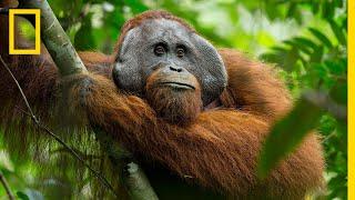 A Rare Look at the Secret Life of Orangutans   Short Film Showcase