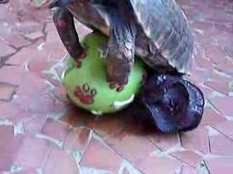 Tartaruga eh lerda AONDE
