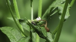 A Deadly Ground Crab Spider protecting her nest from a Spotted Lady Beetle Larva