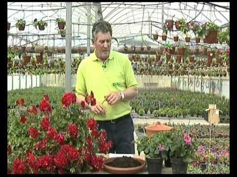 El jardinero en casa geranios y gitanillas