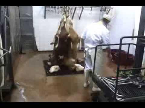 Klanje teladi Calf slaughter.