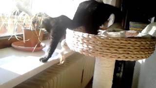 Black Cat Mogli in Action