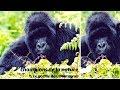 Le gorille des montagnes - champions de la nature