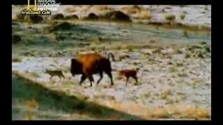 جديد وحصريا فلم وثائقي عن الحيوانات المفترسة 2012