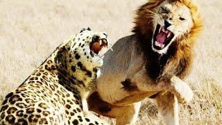 Арслан сүсэг Jaguar || Jaguar vs Lion Youtube