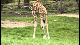 baby giraffe chasing butterfly at the zoo!