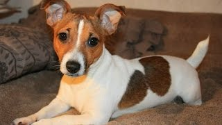Funny Jack Russell Compilation