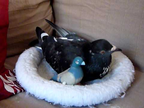 Pet pigeon Elmo in nest with toys