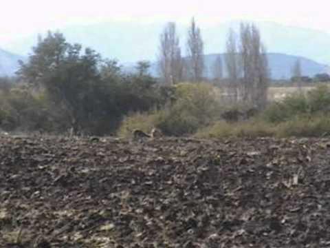 caza de liebres con galgos parral chile2