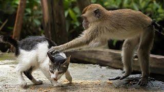 MONKEYS Vs CATS | Funny Videos of Animal Compilation