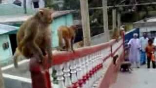 Bandor (monkey)7