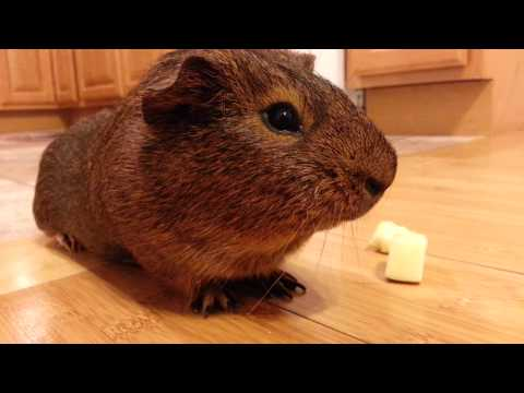 Brownie being boring but cute GUINEA PIG