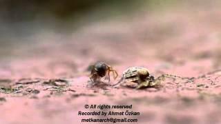 Ameise vs Spinne