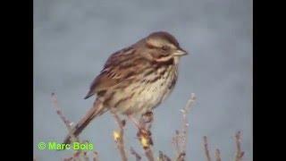 Bruant chanteur/Song Sparrow