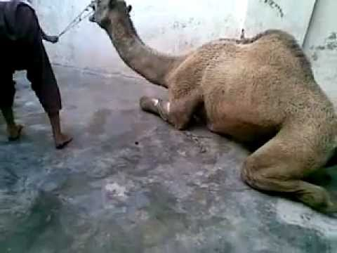 camel qurbani ayyaz muzammil house multan