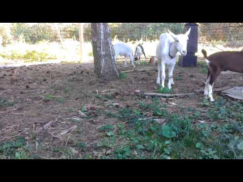 Xxx Mp4 Our Lovable Goat Family Crazy Failed Mating And 3gp Sex