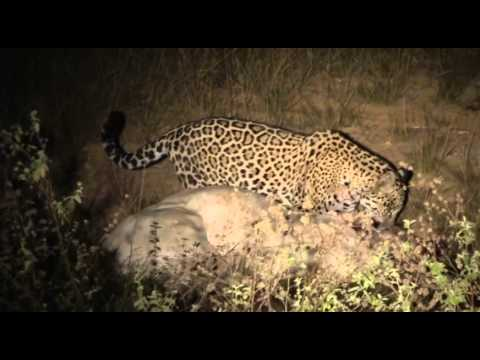 Filhote de Onça Aprendendo a caçar Projeto Onçafari
