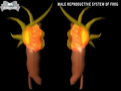 Xxx Mp4 Sex Reproductive Male Reproductive System Of Frog Mp4 3gp Sex