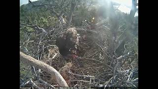 04-10-18 Big Bear Lake eagles; Stormy eats on his own.