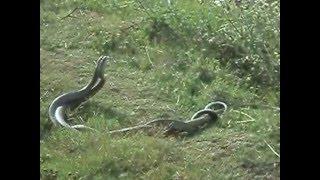 snake couple romance in lakuribhanjyang,NEPAL
