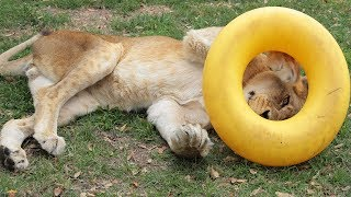 Lion's Caretakers Surprise Him With A Special Gift When His Favorite Toy Gets Destroyed