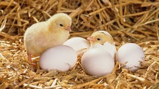 Chick Hatching From Egg | Incubator | Poultry