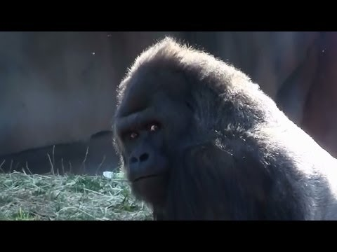 Xxx Mp4 Silverback Gorilla Beating His Chest And More Gorilla Footage St Louis Zoo 3gp Sex