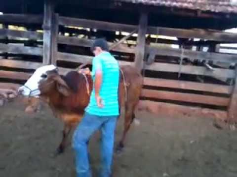 Rodeio em touros na Fazenda do Wainer Pedrin Parada