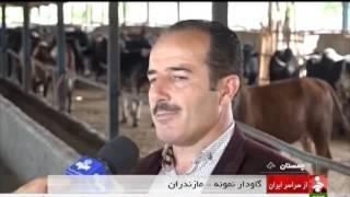 Iran Chamestan district, Cattle & Dairy farming گاوداري شير و گوشت بخش چمستان ايران