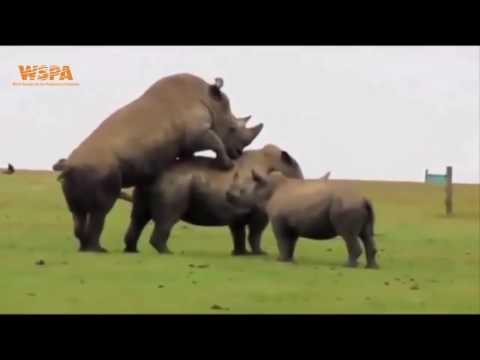 Xxx Mp4 Rhino Mating 2017 Video Survival Of The Species And Wildlife Conservation 3gp Sex