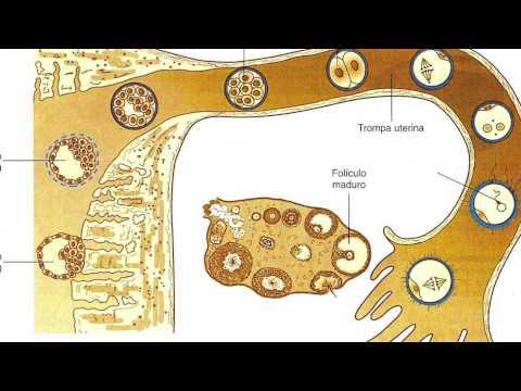 Explicación del ciclo menstrual