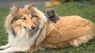 After His Mother Was Hit By a Car, This Adorable Baby Fox Was Adopted and Raised By a Collie