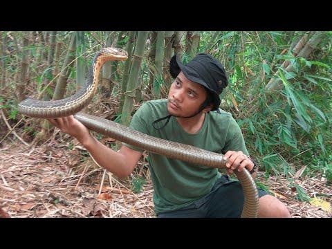 Xxx Mp4 King Cobra Penunggu Hutan Bambu 3gp Sex