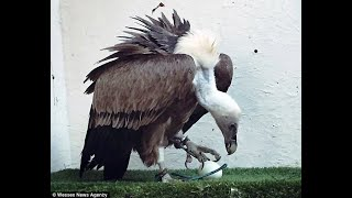 Male Kent vulture called Harold stuns staff by laying egg