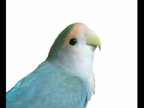 MASTERAN LOVEBIRD KUSUMO