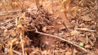 Myrmecochory - vegetarian ant assitants are seed harvesters and plant allies