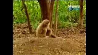 Tarjan love Forest Tiger & Monkey