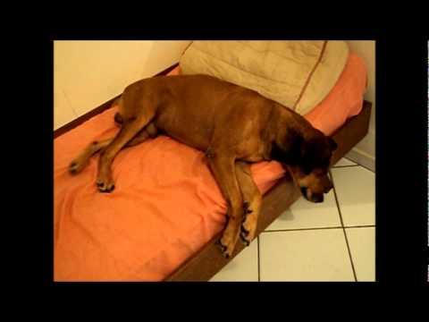 Cachorro dormindo sonhando e caindo
