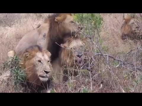 [Animal][獸] Gay lions mating hard. 四頭雄獅交配