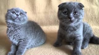 Шотландские котята фолд и страйт
