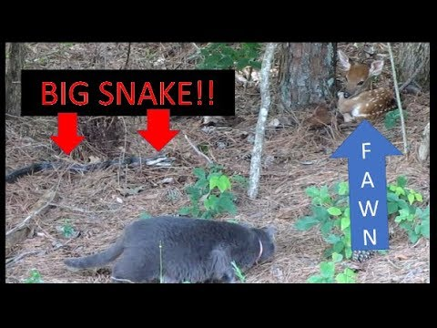 Xxx Mp4 6 FOOT SNAKE GOES AFTER FAWN Amp FARM CAT INTERVENES 06 10 18 3gp Sex