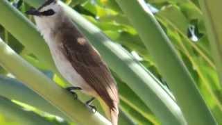 Yellow-vented Bulbul - Bird Sound