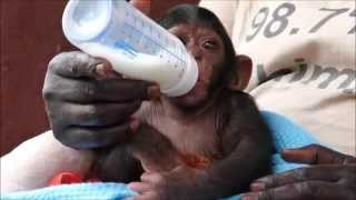 Adorable baby chimp at sanctuary drinks milk from a bottle