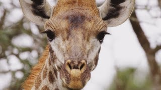 Giraffe's Blue Tongues | Wild Lands: South Africa | BBC Earth