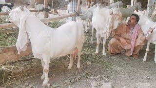 Gulabi Goats |Complete Documentary