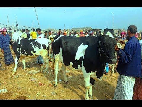 Xxx Mp4 675 Holstein Friesian Cow কম দামে উন্নত জাতের গাভি কিনুন ও বিস্তারিত জানুন Dairy Cow Market Price 3gp Sex