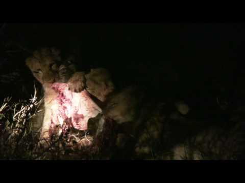 Xxx Mp4 GSC 0941 Our Second Lion Kill Shawn Silmiya Hendricks 3gp Sex