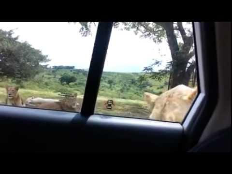 Xxx Mp4 Hii Video Fupi Imeniogopesha Sana Iwafikie Wote Wanaokwenda Mbuga Za Wanyama Na Kujiamini Ndani Ya 3gp Sex