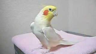 The cockatiel sings the theme of Zelda's legend.